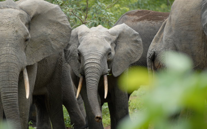 Family of elephant in Kakum National Park