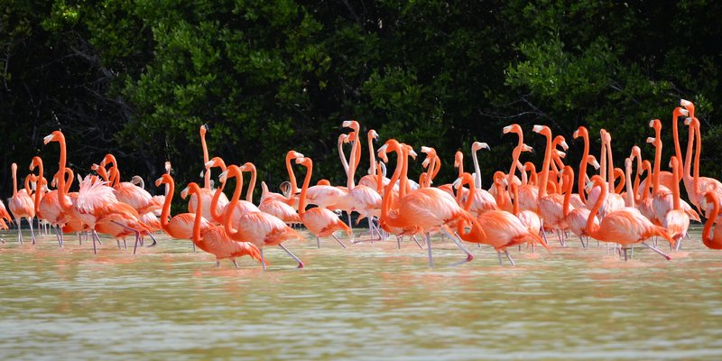 view of pink flamingos  in Celestun Mexico